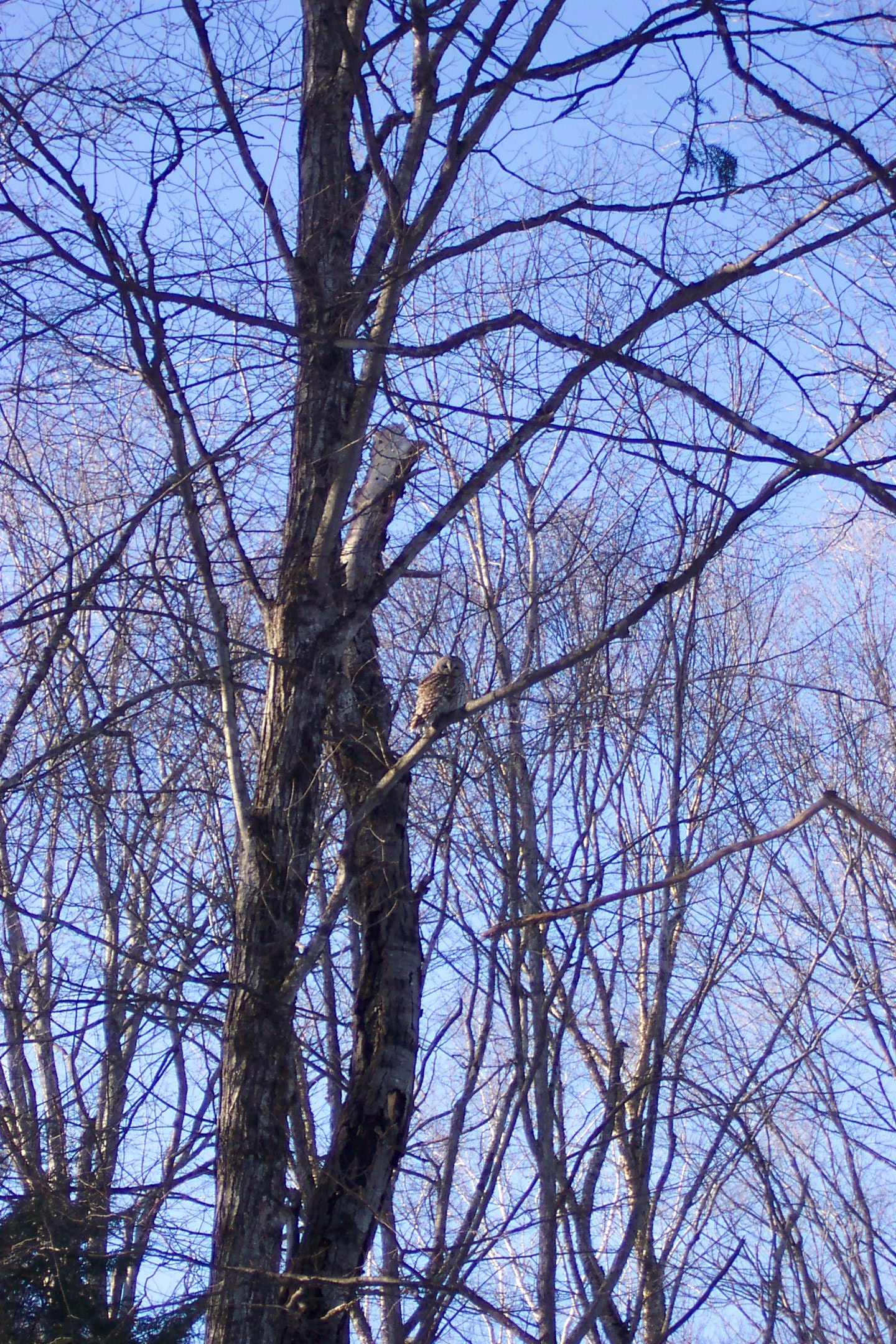 Vermont Barred Owl